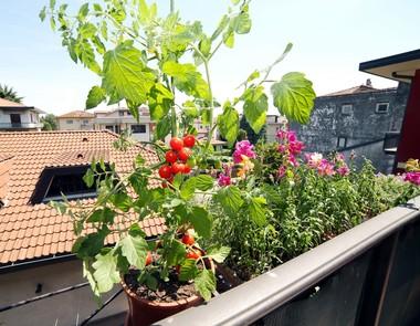 Jak Hodować Pomidory Na Balkonie Ogród I Balkon Meblepl